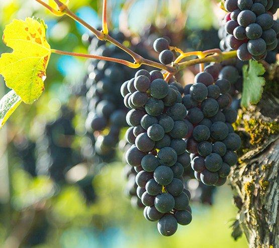 Huaptsorten Baluburgunder Branchenverband St. Galler Wein