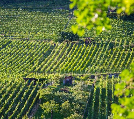 Steillagen2 Branchenverband St. Galler Wein