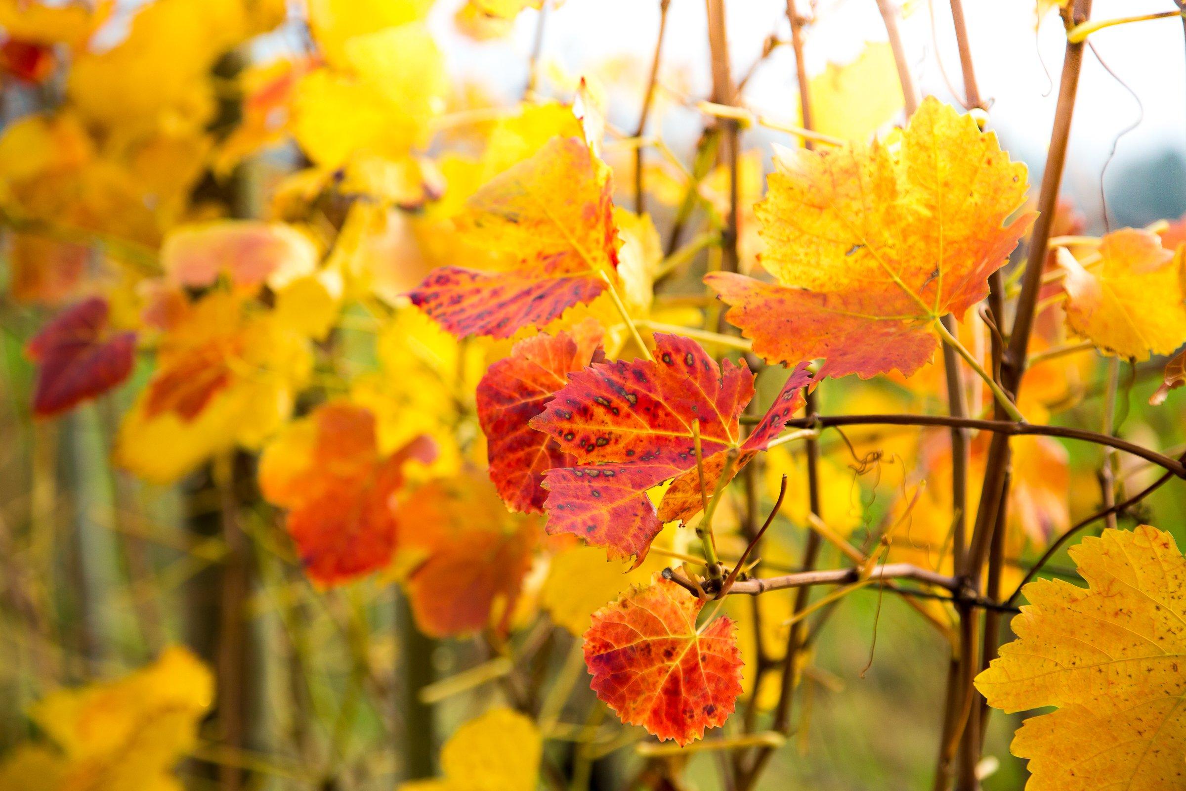 Reben Herbst
